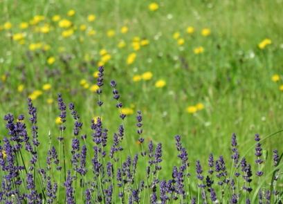 2016-06-16 LüchowSss Garten (37) Lavendel