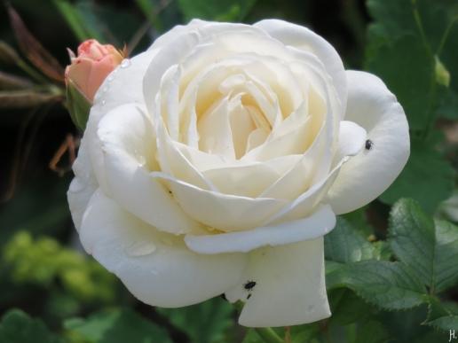 2016-06-16 LüchowSss Garten (4) Rose 'Aspirin'