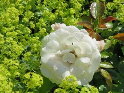 2016-06-16 LüchowSss Garten (40) Rose 'Aspirin' + Frauenmantelblüten