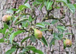 2016-06-22 Kukate (13) Birnen am alten Birnbaum