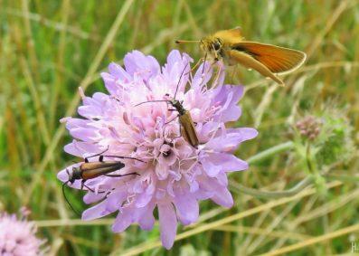 2016-06-30 Kukate Acker-Witwenblume (Knautia arvensis) mit Insekten (1) mit Schmalbockkäfern und Dickkopffalter