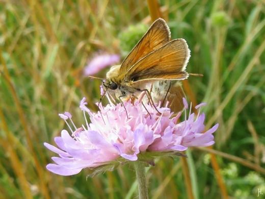 2016-06-30 Kukate Acker-Witwenblume (Knautia arvensis) mit Insekten (4) Dickkopffalter
