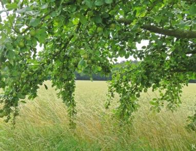 2016-06-30 Kukate Apfelbäume an der Landstrasse (1)