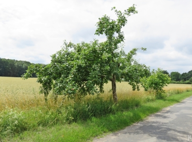2016-06-30 Kukate Apfelbäume an der Landstrasse (2)