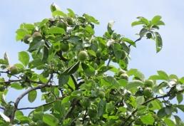 2016-06-30 Kukate Apfelbäume an der Landstrasse (3)