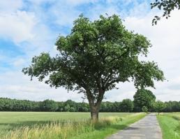 2016-06-30 Kukate Apfelbäume an der Landstrasse (4)