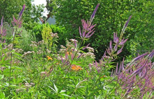 2016-07-09 LüchowSss Garten (22) Kandelaber-Ehrenpreis ua