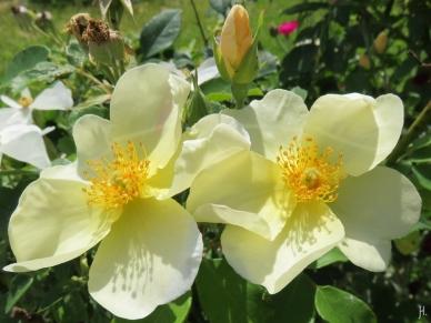 2016-07-09 LüchowSss Garten (4) Rose Kew Gardens