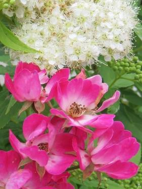 2016-07-09 LüchowSss Garten (65) Spirea+Rose