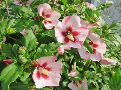 2016-07-29-luechowsss-garten-4-garten-hibiskus