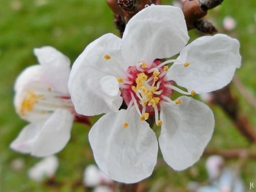 2017-03-30 LüchowSss Garten (1) Aprikosenblüten