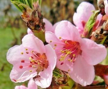 2017-03-30 LüchowSss Garten (24) Pfirsichblüten mit Ameise