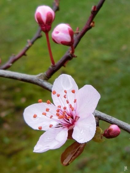 2017-03-30 LüchowSss Garten (4) Blutpflaumenblüten