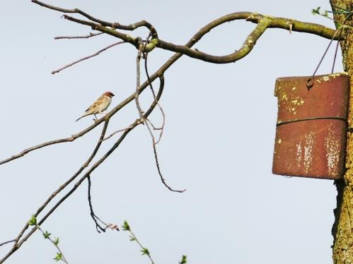 2017-04-01 LüchowSss Garten (6) Feldsperling am Nistkasten