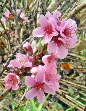 2017-04-01 LüchowSss Garten Ackerhummel (Bombus pascuorum) Pfirsichblüten (1)