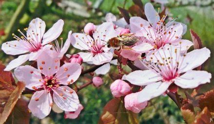 2017-04-01 LüchowSss Garten Blutpflaumenblüten (1) Rotschopfige Sandbiene (Andrena haemorrhoa)