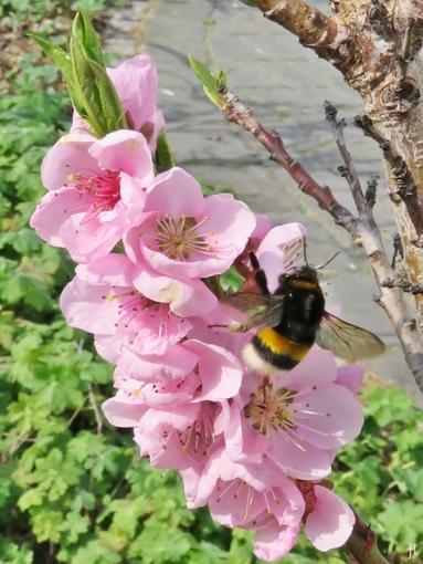 2017-04-01 LüchowSss Garten Dunkle Erdhummel& Pfirsichblüten (1)