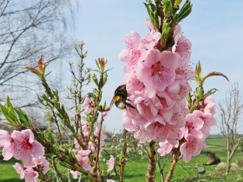 2017-04-01 LüchowSss Garten Dunkle Erdhummel& Pfirsichblüten (3)