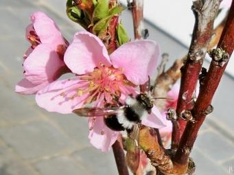 2017-04-01 LüchowSss Garten Pfirsichblüten (3) Graue Sandbiene (Andrena cineraria)