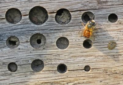 2017-04-01 LüchowSss Garten Rote Mauerbiene am Insektenhotel (2)