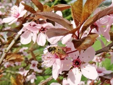 Gemeine Sandbiene (Andrena flavipes) auf Blutpflaumenblüten