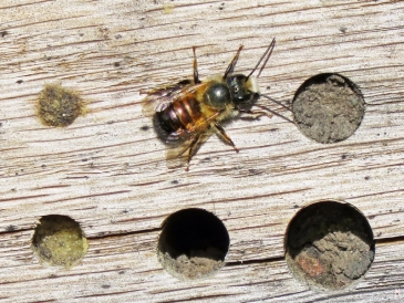 2017-04-06 LüchowSss Garten Insektenhotel B (10) mit 1 Mauerbiene aussen