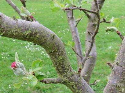2017-04-08 LüchowSss Garten Apfelknospen (Terrasse) (2A)