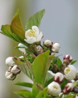 2017-04-08 LüchowSss Garten Vogelkirsche (4)