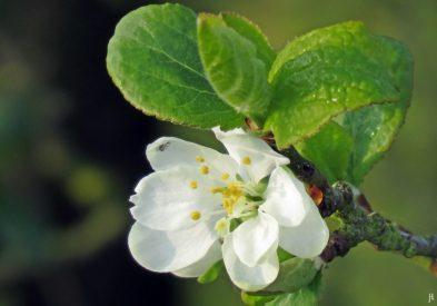 2017-04-09 LüchowSss Garten 'Prunus x' (1)