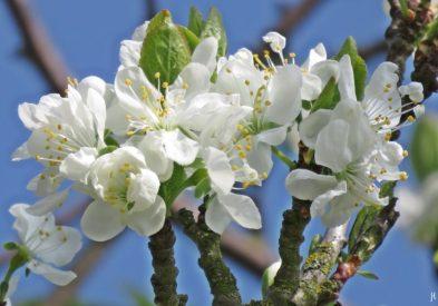 2017-04-09 LüchowSss Garten 'Prunus x' (4)