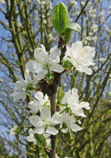 2017-04-09 LüchowSss Garten 'Prunus x' (6)