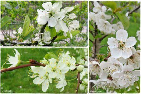 Vergleichsbilder mit anderen Prunus-Arten