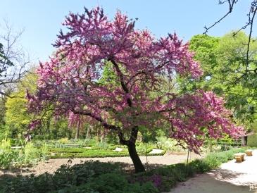 2017-04-12_8 MADRID-Urlaub (156) Real Jardín Botánico de Madrid - Judasbaum
