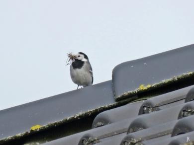 Eine Bartstelze? - Bachstelze (Motacilla alba) sitzt mit gesammeltem Nistmaterial im Schnabel auf dem Dach des Hauses.
