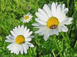 2017-05-28 LüchowSss Garten (88) Zottiger Bienenkäfer Trichodes alvearius )+Scheinbockkäfer+Margerite