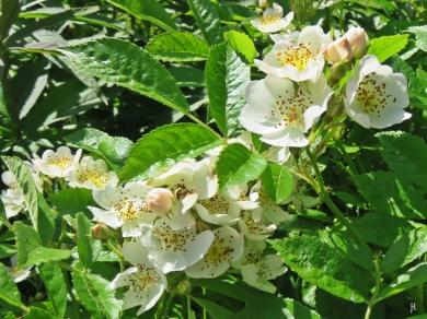 2017-06-02 LüchowSss Garten (10) Vielblütige Rose