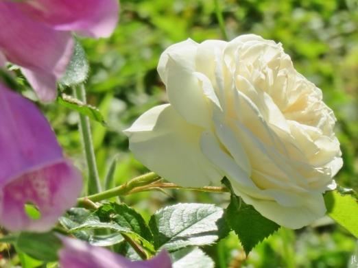 2017-06-02 LüchowSss Garten (3) Rose 'Artemis' + Fingerhut