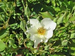 2017-06-02 LüchowSss Garten (5) Rose 'Kew Gardens'