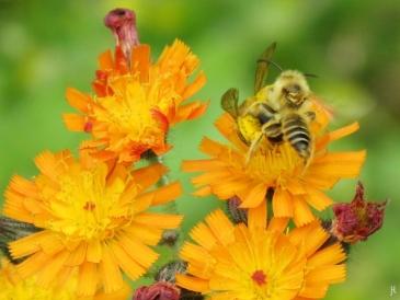 2017-06-05 LüchowSss Garten (16) Orangerotes Habichtskraut mit Bienenpaar
