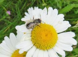 2017-06-08 LüchowSss Garten (15) Margerite mit Wildbiene