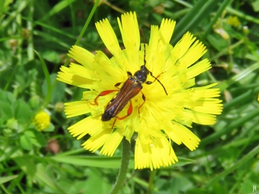2017-06-17 LüchowSss Garten Braunrötlicher Spitzdeckenbock (Stenopterus rufus) auf Mausohr-Habichtskraut (Hieracium pilosella)