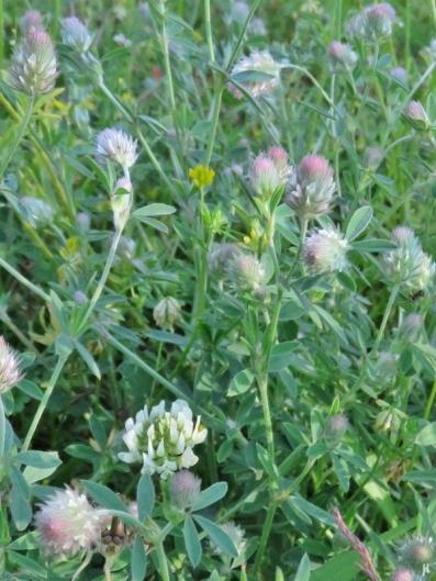 Hasen-Klee (Trifolium arvense) mit Weissklee (Trifolium repens)