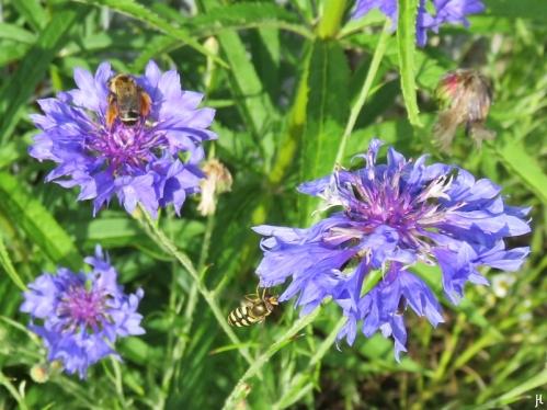 Kornblumen + Braunbürstige Hosenbiene + Mondfleck-Feldschwebfliege