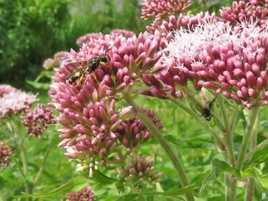 2017-06-26 LüchowSss Garten (43) Wespe auf Wasserdost