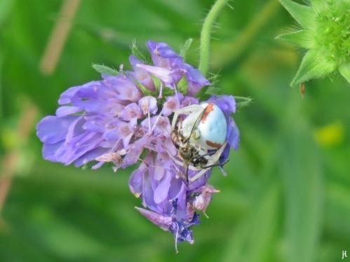 2017-06-26 LüchowSss Garten (88) Veränderliche Krabbenspinne (Misumena vatia) mit Bienen-Mahlzeit auf Acker-Witwenblume