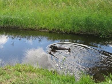 2017-07-03 bLüchowSss Königshorster Kanal (30) Bongo schwimmt