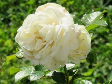 Nostalgie-Rose 'Artemis'