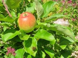 Apfel + Rose 'Aspirin' + Oregano + Schwebfliegen