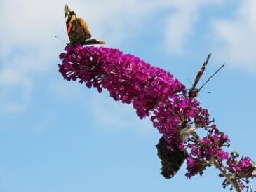 2017-07-17 LüchowSss Garten (8) 4 Falter + 1,5 Fliegen an Schmetterlingsflieder