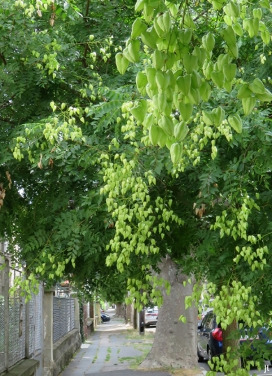 2017-07-13 Györ (CK) (26) Alleebaum an der Damjanich utca